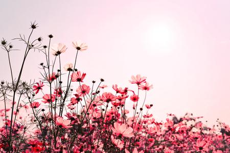 Roze toon van de bloem veld van de kosmos. Snoepje en liefdeachtergrond - uitstekende kleurenfilter Stockfoto