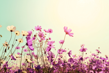 field of flowers: Pink of cosmos flower field. Sweet and love concept - vintage nature background Stock Photo