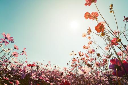 Vintage landschap natuur achtergrond van mooie kosmos bloem veld op hemel met zonlicht. retro kleurtoon filter effect