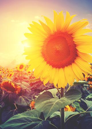 rising of sun: Foto de la vendimia de girasol con la luz del sol - efecto de filtro retro