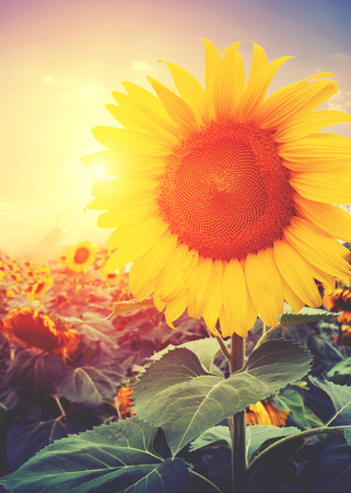 a sunflower: Vintage photo of sunflower with sunlight - retro filter effect