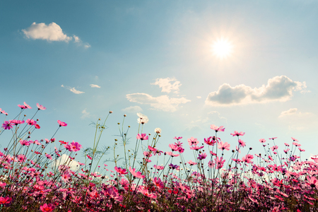Sun flower: Pink of cosmos flower field. Sweet and love concept - vintage nature background Lizenzfreie Bilder