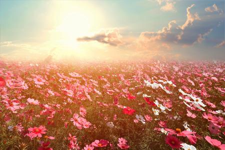 太陽の光と美しいピンクと赤のコスモス花畑の風景、自然の背景。ヴィンテージ色のトーン