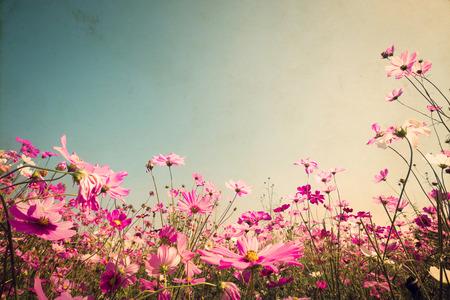 Roze van de kosmos bloem veld. Sweet and love concept - vintage natuur achtergrond