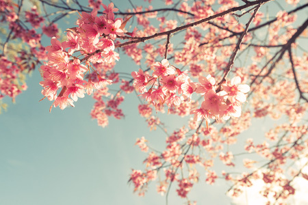 빈티지 벚꽃 - 사쿠라 꽃. 자연 배경 (복고풍 필터 효과 색상)
