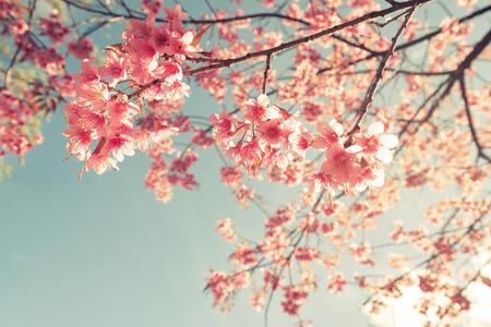 Fiore di ciliegio d'epoca - fiore sakura. Sfondo di natura (effetto retro effetto filtro) Archivio Fotografico - 57478908