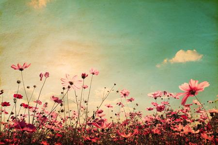 景觀: 美麗的波斯菊花田在陽光的天空復古景觀自然背景。復古的色調濾鏡效果