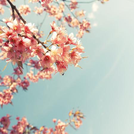 fleur de cerisier: Vintage fleur de cerisier - fleur sakura. la nature de fond (rétro filtre couleur de l'effet)