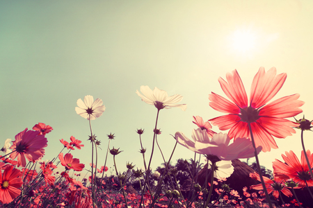 pink flowers: Vintage landscape nature background of beautiful cosmos flower field on sky with sunlight. retro color tone filter effect