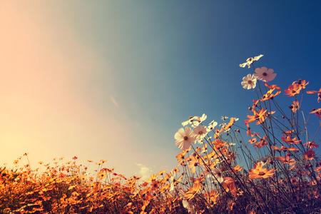 秋の日光が付いている空の美しいコスモスの花のヴィンテージ風景、自然の背景。レトロな色のトーン フィルター効果