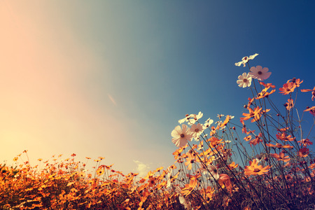 Vintage landscape nature background of beautiful cosmos flower field on sky with sunlight in autumn. retro color tone filter effect Archivio Fotografico