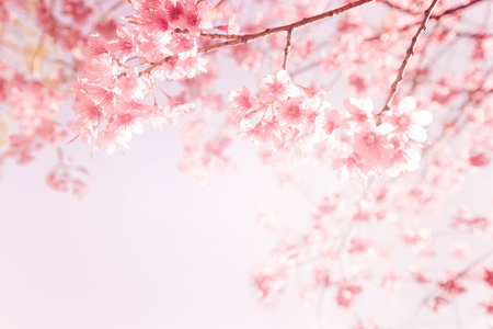 beautiful vintage sakura flower (cherry blossom) in spring. vintage pink color tone Banco de Imagens