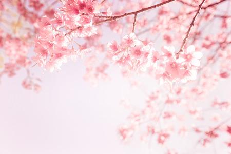 Vacker vintage sakura blomma (körsbärsblom) på våren. Vintage rosa färgton Stockfoto
