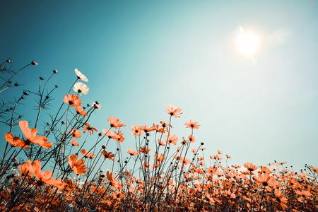 kosmos: Jahrgang Landschaft Natur Hintergrund der schönen Kosmos Blume Feld am Himmel mit Sonne im Frühjahr. Vintage-Farbton Filterwirkung