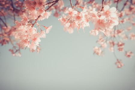 tree branch: beautiful vintage sakura flower (cherry blossom) in spring. vintage color tone