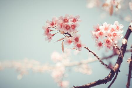 fleur de cerisier: Gros plan de la belle fleur d'arbre de sakura vintage (fleur de cerisier) au printemps. couleur style vintage de ton.
