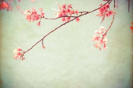 cherry tree: Vintage paper postcard - beautiful sakura tree flower (cherry blossom) in spring. vintage color tone style.