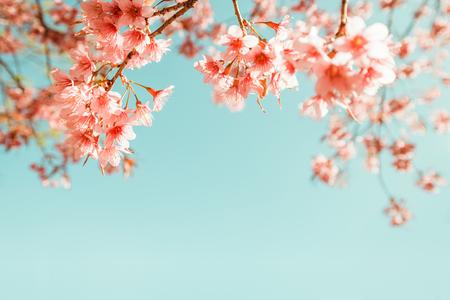 봄에 아름다운 빈티지 사쿠라 꽃 (벚꽃). 빈티지 색상 톤