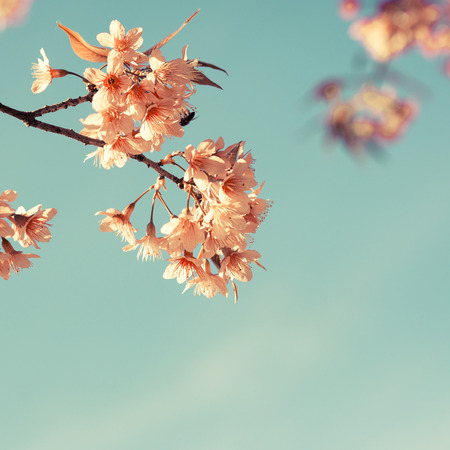 color background: Vintage cherry blossom - sakura flower. nature background  (retro filter effect color) Stock Photo