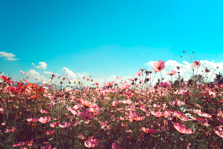 nature of sunlight: Landscape vintage nature background of cosmos flower field with sunlight blue sky. vintage color tone