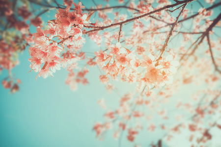 fleur de cerisier: Belle fleur d'sakura vintage (fleur de cerisier) au printemps. style de ton de couleur rétro.