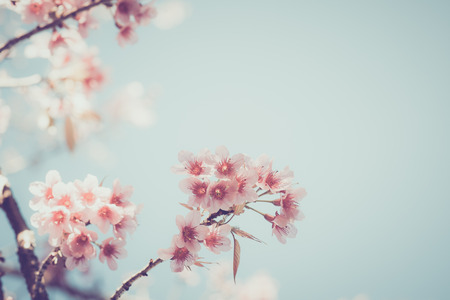 Close-up of beautiful vintage sakura tree flower (cherry blossom) in spring. vintage color tone style. Фото со стока