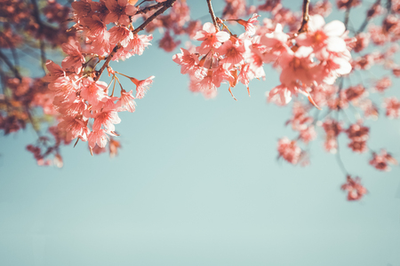 flores chinas: beautiful vintage sakura flower (cherry blossom) in spring. vintage color tone