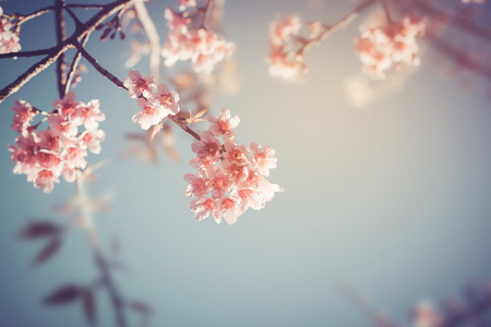 cherry tree: Close-up of beautiful vintage sakura tree flower (cherry blossom) in spring. vintage color tone style. Stock Photo