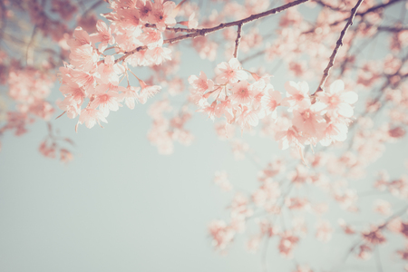 Beautiful vintage sakura tree flower (cherry blossom) in spring. retro color tone style. Zdjęcie Seryjne - 71988587