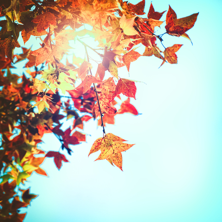 Beautiful autumn leaves and sky background in fall season, Colorful maple foliage tree in the autumn park, Autumn trees Leaves in vintage color tone. Stock Photo - 80435687