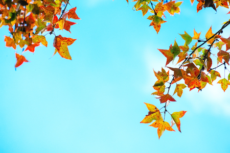 Belles feuilles d'automne et fond de ciel en automne, feuillage d'érable coloré dans le parc en automne, arbres d'automne Feuilles en couleur vintage. Banque d'images - 80435665