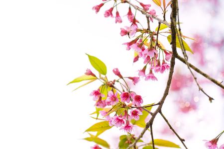 Beautiful sakura flower (cherry blossom) in spring on white background
