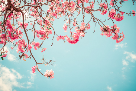Beautiful sakura flower (cherry blossom) in spring. sakura tree flower on blue sky. vintage color tone Stock Photo