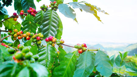 Fresh arabica coffee bean on tree at mountain northern of Thailand. Stockfoto - 97879760