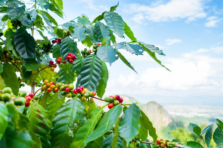 Fresh arabica coffee bean on tree at mountain northern of Thailand. Foto de archivo - 99909876