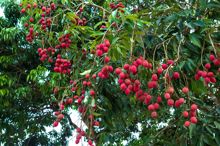 Ripe lychee fruit on tree. tropical fruit