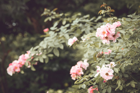 vintage pink rose flower tree. film color tone filter efecct.