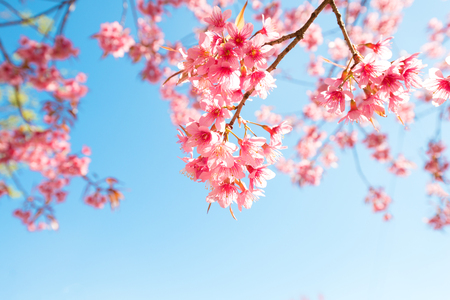 Beautiful sakura flower (cherry blossom) in spring. sakura tree flower on blue sky. Фото со стока - 119300758
