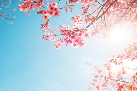Schöne Sakura-Blume (Kirschblüte) im Frühjahr. Sakura-Baumblume am blauen Himmel.