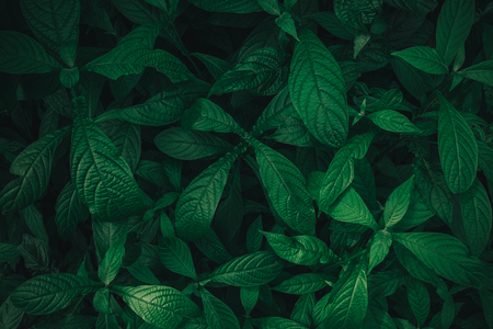 Foliage of tropical leaf in dark green texture, abstract pattern nature background. vintage color tone. Stockfoto
