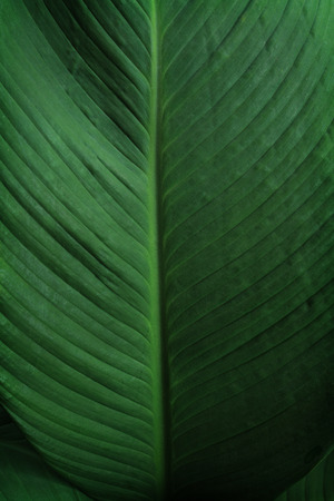 Close-up of large foliage of tropical leaf with dark green texture, abstract nature background. Stockfoto