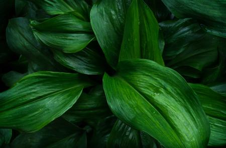 Gran follaje de hojas tropicales con textura verde oscuro, fondo de naturaleza abstracta.
