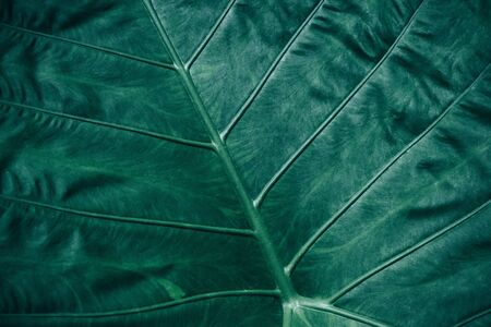 Close-up foliage of tropical leaf in dark green texture,  abstract nature background. Reklamní fotografie