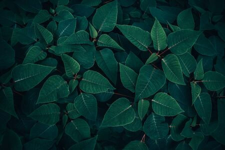 Foliage of tropical leaf in dark green texture, abstract pattern nature background. Reklamní fotografie