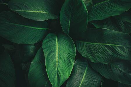 Gran follaje de hojas tropicales con textura verde oscuro, fondo de naturaleza abstracta. tono de color vintage.