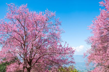 Beautiful cherry blossom flowers in spring time over blue sky. sakura tree at chiang-khong Chiangrai, The nothern of Thailand.
