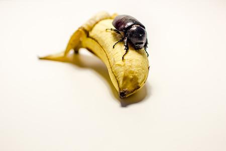 comiendo platano: Este escarabajo que come el pl�tano.
