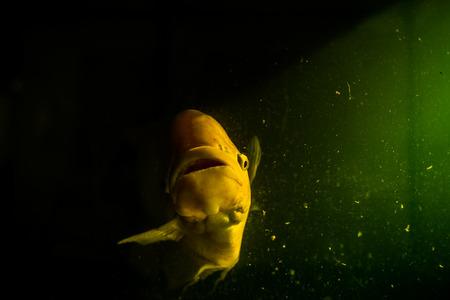 gourami: Giant gourami with the mystery concept. Stock Photo