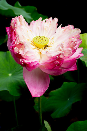 Bee in lotus blossom with black tone background. photo
