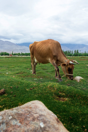 india cow: Cow grazing on pasture with natural landscape near Shey Palace located at Leh Ladakh, Jammu and Kashmir, India Stock Photo